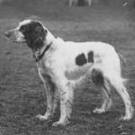 Hollantilainen uros ESPOIR DE PETIT HAN, s. 1931, i. Ch. Potic II, e. Betty de Rhode