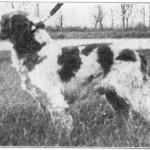Uros KAER DE CORNOUAILLE, s. 1936, viety Amerikkaan 1938, i. Idoc de Cornouaille, e. Hem'za de Cornouaille.