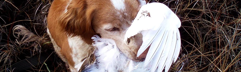 Linnustavan metsästäjän kumppanina bretoni on parhaimmillaan!